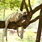 Mauritius - Lion at Casela Park by mattnnat