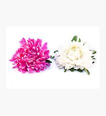 Purple and white aster, Callistephus chinensis, isolated Photographic Print