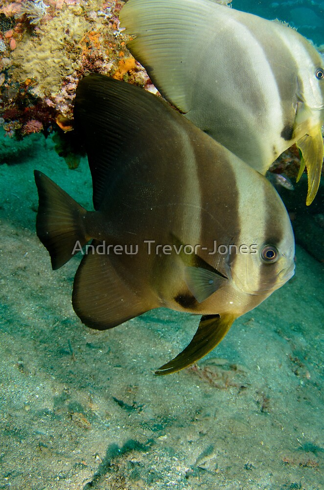 Long-finned Batfish - Platax teira by Andrew Trevor-Jones