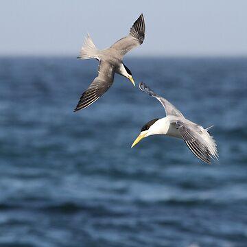 Sea Swallows by byronbackyard