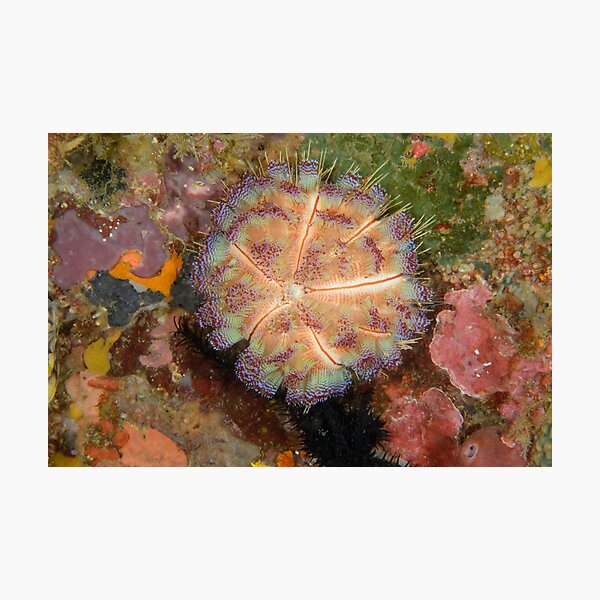 Fire Urchin - Asthenosoma ijimai Photographic Print