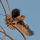 120112 Prairie Falcon by Marvin Collins