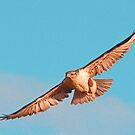111812 Ferruginous Hawk by Marvin Collins