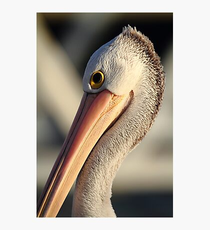 """Pelican Portrait"" Photographic Print"