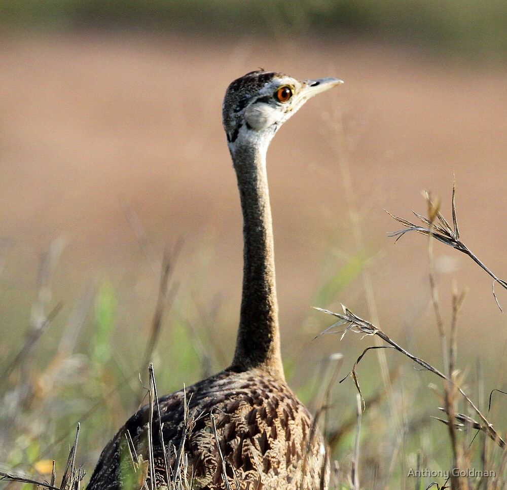Black bellied korhaan up close by jozi1