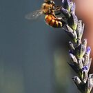 Bee and Lavender by Guy Wann