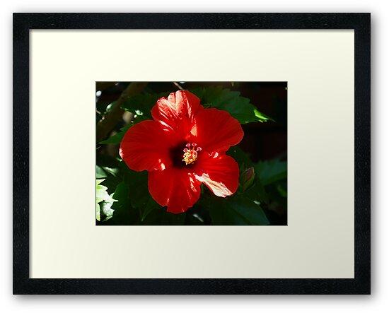 Hibiscus by simonescott
