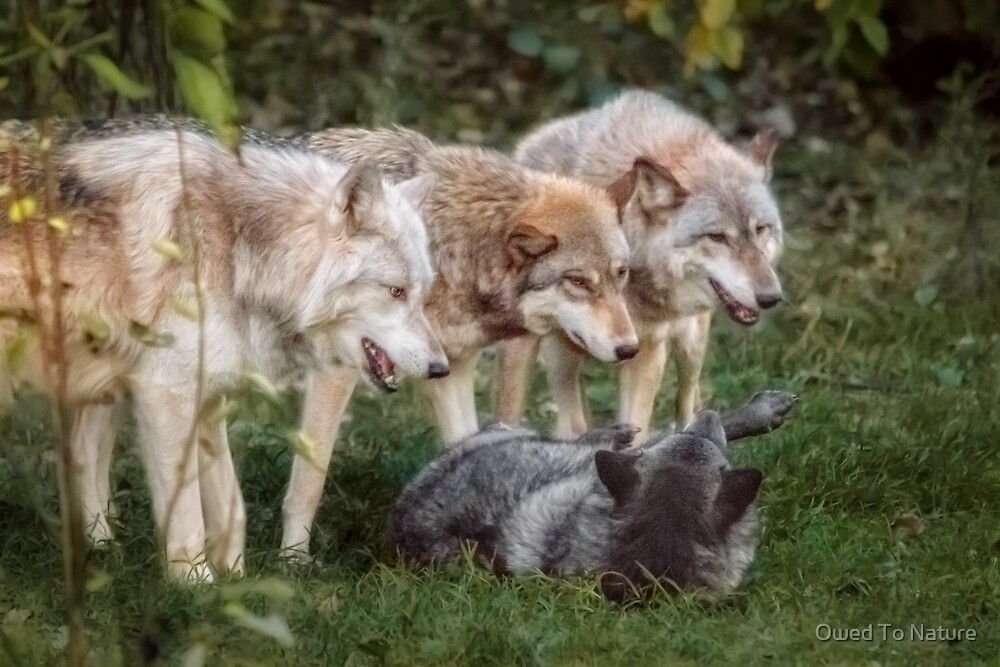 The Pack by Owed To Nature