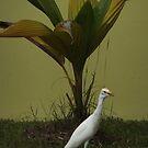 Egret in backyard in Trinidad by DeborahDinah