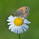 Butterfly on a Daisy by Kasia Nowak