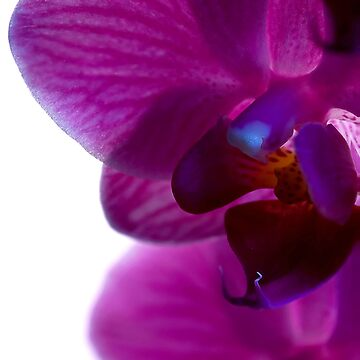 Orchid by Paulie-W