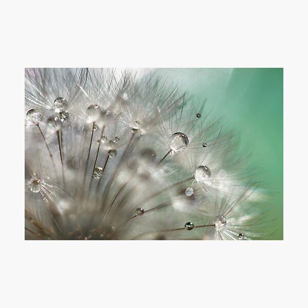Silver Mint Dandelion Photographic Print