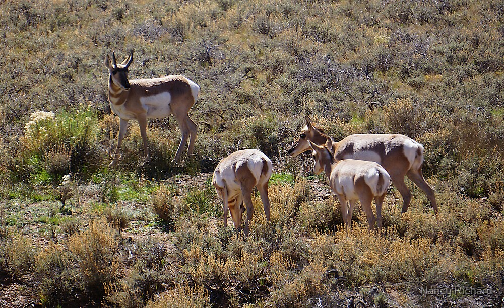 Pronghorn and His Harem by Nancy Richard