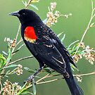Red Winged Black Bird by Stephen Forbes
