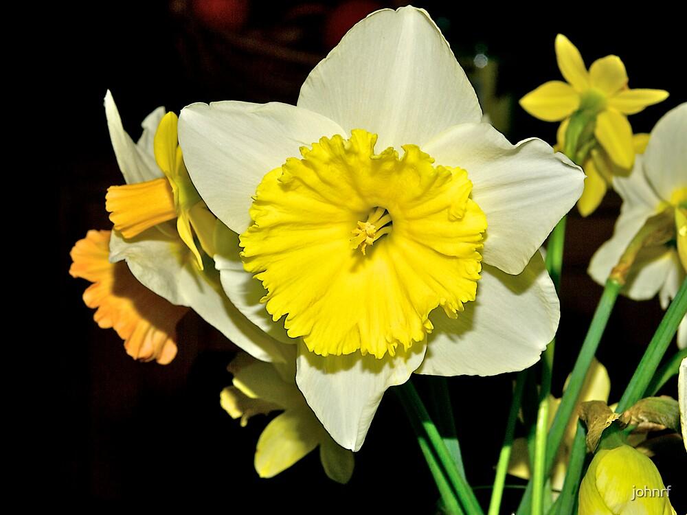 Daffodils, Guys Hill, Victoria. by johnrf