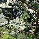 Cherry Blossom Branches by Deborah Singer