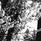 Cherry Blossom Branches (BW) by Deborah Singer
