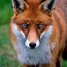 Red Fox by Stuart Robertson Reynolds