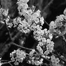 Cherry Blossom (BW) by Deborah Singer