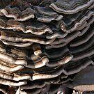 Pretty fungus in my garden, Tumut, NSW, Australia. by kaysharp