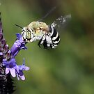 Blue Banded Bee by Marion  Cullen