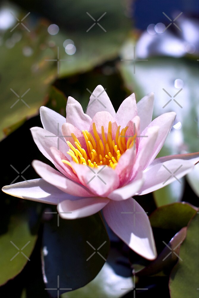 Hardy Water Lily by Vac1