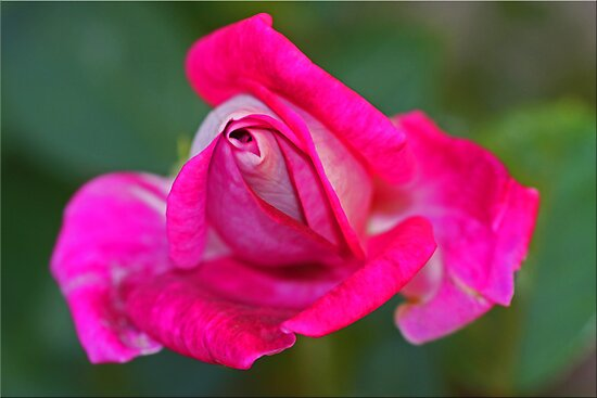 Portrait In Pink by Chet  King