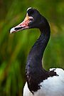 Magpie Goose by Stuart Robertson Reynolds