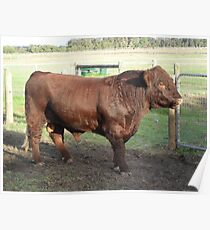 Prize bull, Mollybrook Poster