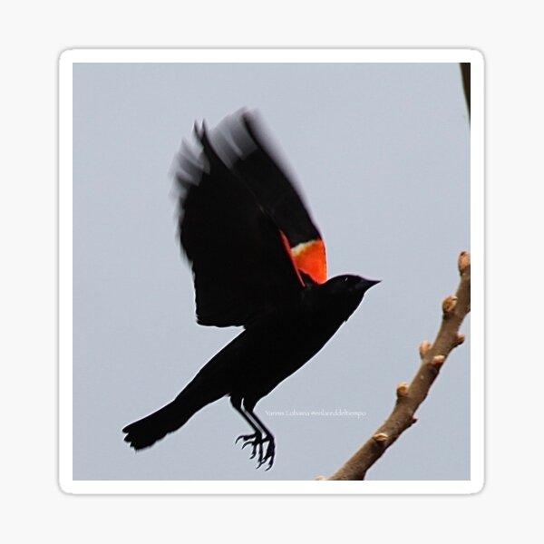 Fly high, dear Red winged blackbird By Yannis Lobaina Sticker