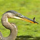 Heron with Snack by Nancy Barrett