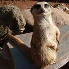 Meerkat Model by mabelbarc