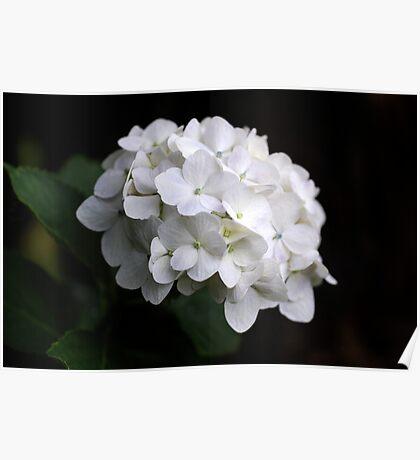 White Hydranga Poster