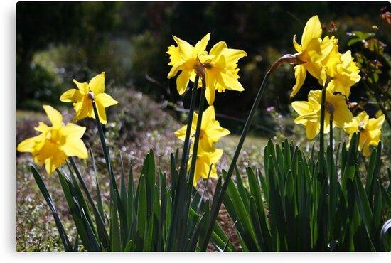 Daffodils by Greta van der Rol