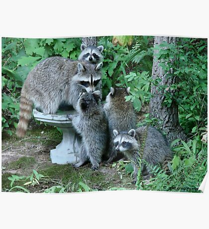 Raccoon Mom with 4 Kits Poster