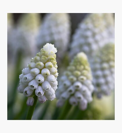 White Muscari Photographic Print