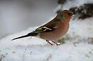 Male Chaffinch in the snow by Peter Wiggerman