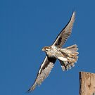 120912 Prairie Falcon by Marvin Collins