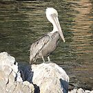 Pelican With Crest by Sandra Gray