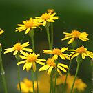 Ragwort by naturalnomad