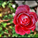 Rose by Michaël Tardif