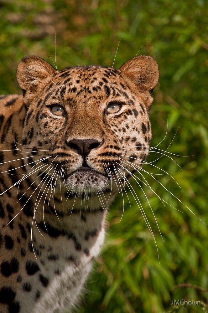 Amur Leopard v2 by JMChown