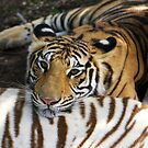 Mauritius - Tiger at Casela Park by mattnnat