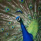 Mauritius - Peacock at Casela Park by mattnnat