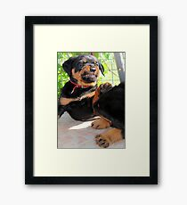 Grumpy Faced Rottweiler Puppy Lashes Out Framed Print