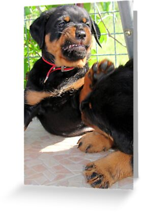 Grumpy Faced Rottweiler Puppy Lashes Out by taiche