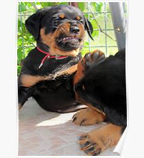 Grumpy Faced Rottweiler Puppy Lashes Out Poster
