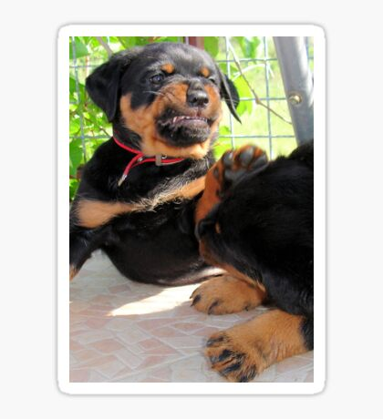 Grumpy Faced Rottweiler Puppy Lashes Out Sticker