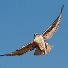120912 Ferruginous Hawk by Marvin Collins