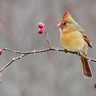 Female Northern Cardinal on Wild Rose by (Tallow) Dave  Van de Laar